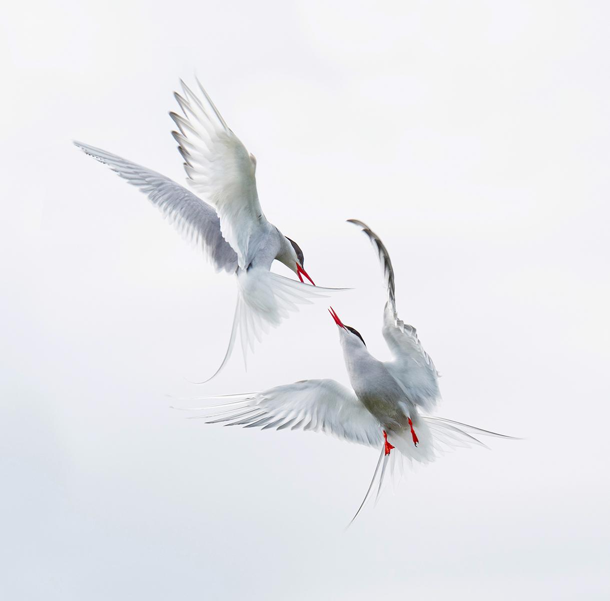 Arctic Terns - Interactions in Flight