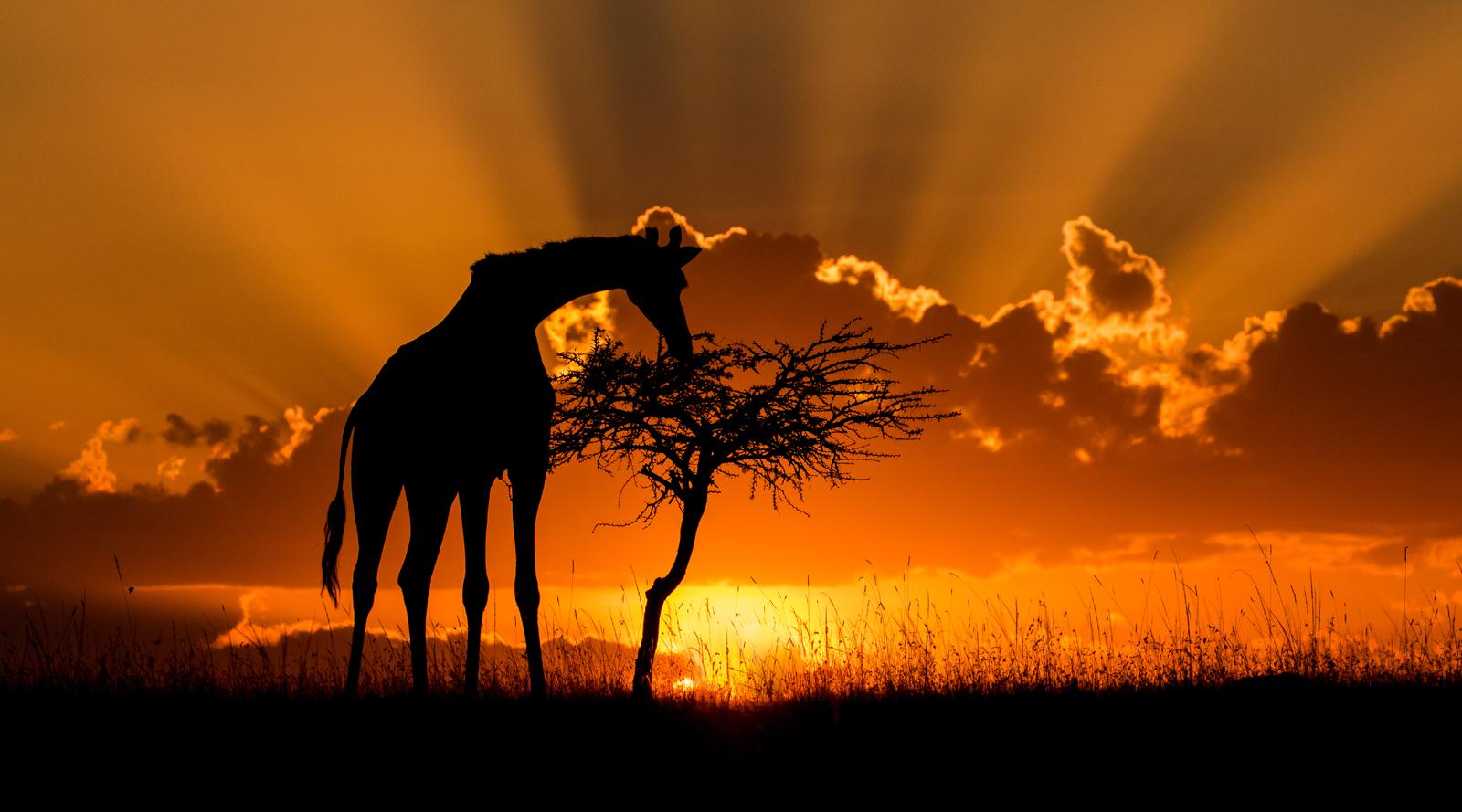 Giraffe Feeding at Sunset