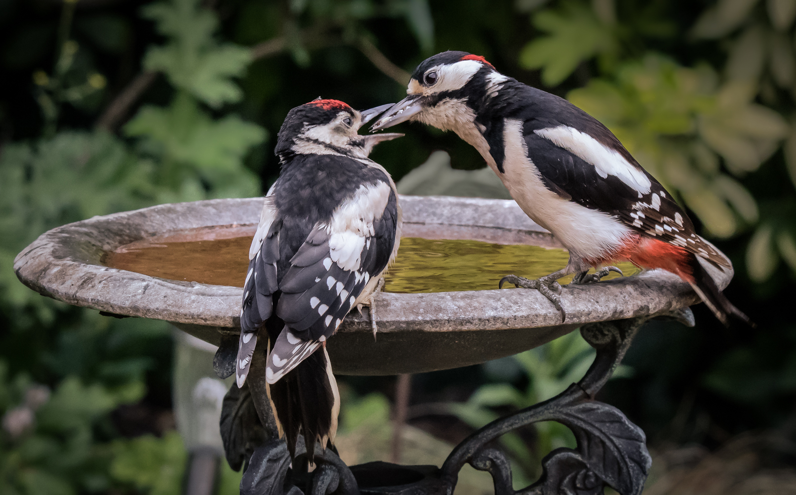 Adult Woodpecker Feeding Juvenile