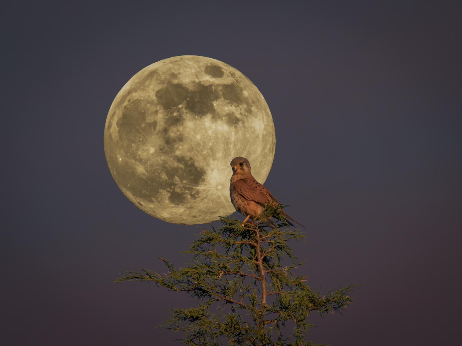 Kestrel at Full Moon